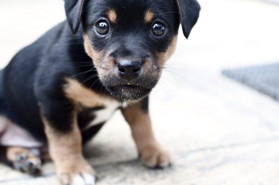Cu l es el mejor pienso para mi rottweiler for Mejor pienso para perros