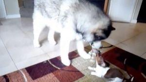 Perro grande versus perro pequeño
