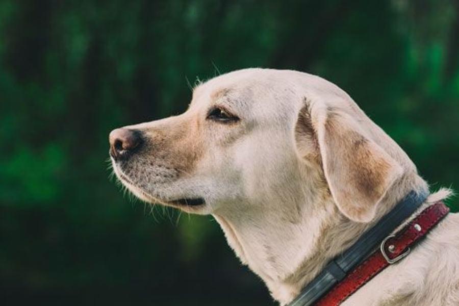 Cuál es el mejor pienso para mi Labrador Retrieve