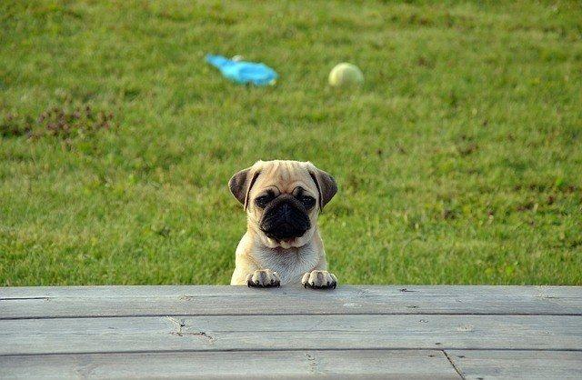 Cómo actuar ante la conducta de exploración del cachorro