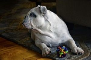 ¿Cuál es el mejor pienso para mi Bulldog Inglés?