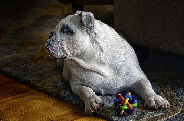 Cu l es el mejor pienso para mi bulldog ingl s for Cual es el mejor lavavajillas