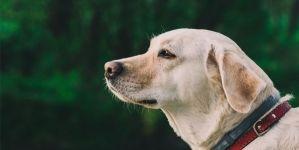 ¿Cuál es el mejor pienso para mi Labrador Retriever?