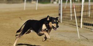 ¿Cuál es el mejor pienso alto en energía para los perros activos o deportistas?