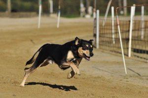 perro-alta-energia-pienso