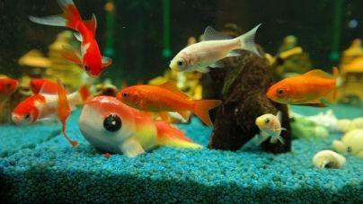 La sobrepoblación en un acuario.