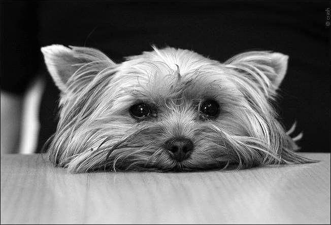 ¿Cuál es el mejor pienso para mi Yorkshire Terrier?
