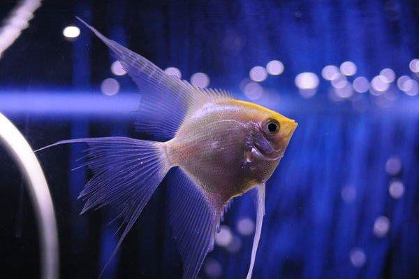 ¿Cuántas veces al día debo alimentar a mis peces?