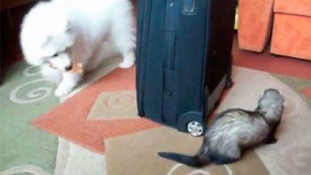 Hurón versus Perro