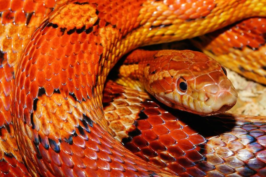 Mi serpiente no come, ¿Qué hago_ PARTE I