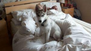 Despertar con un Husky