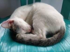 El sueño felino