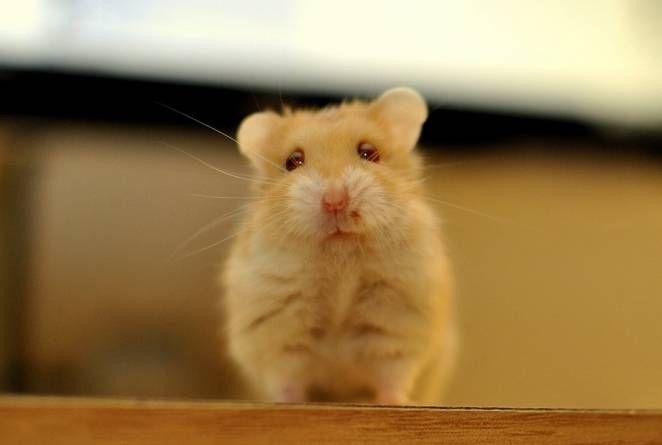 ¿Lecho de papel o virutas de madera para tu hamster?
