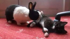 Conejo juega con Gato