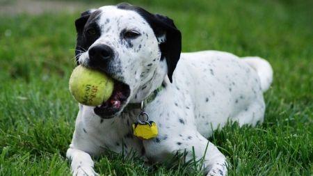 Perros hipnotizados por una pelota