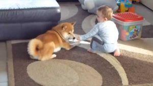 Un perro Shiba inu jugando con Bebé