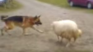 La pelota, el perro y la oveja