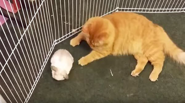 Gato y conejo mejores amigos