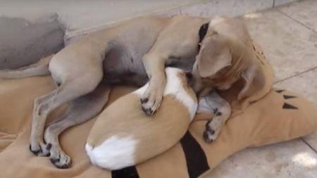 Cobaya y perro enamorados