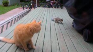 Ardilla roba cacahuetes a gato