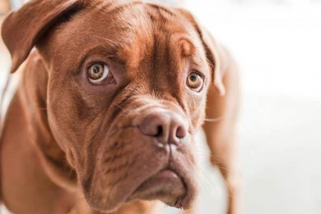 ¿Cuál es el mejor antipulgas para mi perro?