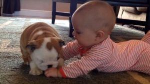 Cachorro de Bulldog muy cariñoso