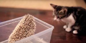 Gatito conoce a Erizo