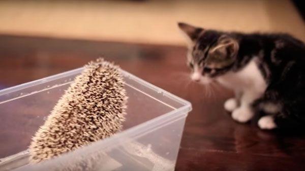 Gato conoce a erizo