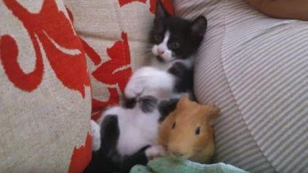 Gatito y cobaya se divierten