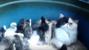Gato adopta polluelos