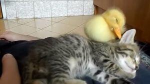 Gatito y patito duermen juntos