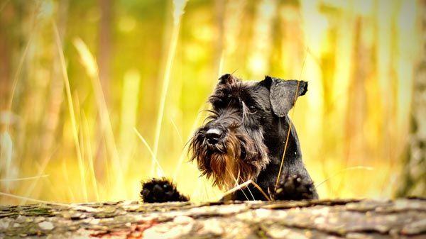 Las espigas y los perros