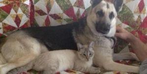 Pastor alemán cariñoso y un gato muy mimoso