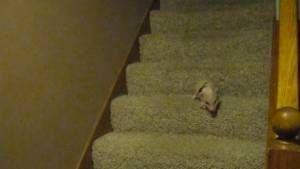 Cerdito bajando las escaleras