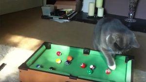 Gatos campeones de billar