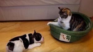 Un cachorrito intenta reclamar su cama al gato