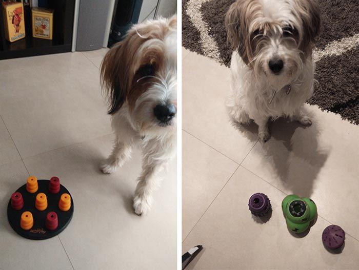 Juegos De Inteligencia Para Perros Entrenando La Mente De Nuestro Perro Tiendanimal