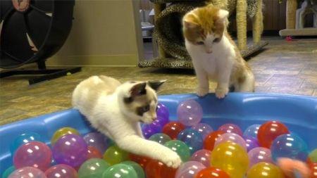Gatos juegan en una piscina de bolas