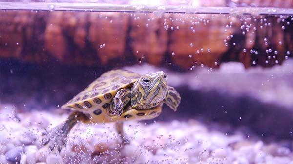 ¿Cómo criar una tortuga de agua?