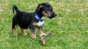 Cómo jugar con un cachorro: ¿debe jugar con otros perros?