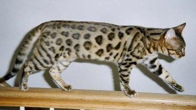 Razas de gatos: todo lo que necesitas saber