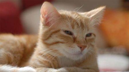 Comida vegetariana para gatos: ventajas e inconvenientes