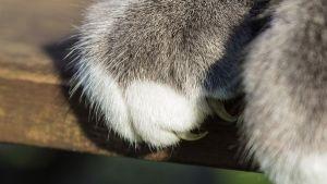 ¿Los gatos sólo se afilan las uñas de las patas delanteras?
