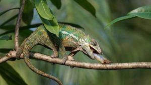 ¿Qué comen los camaleones? Descubre estas y otras curiosidades