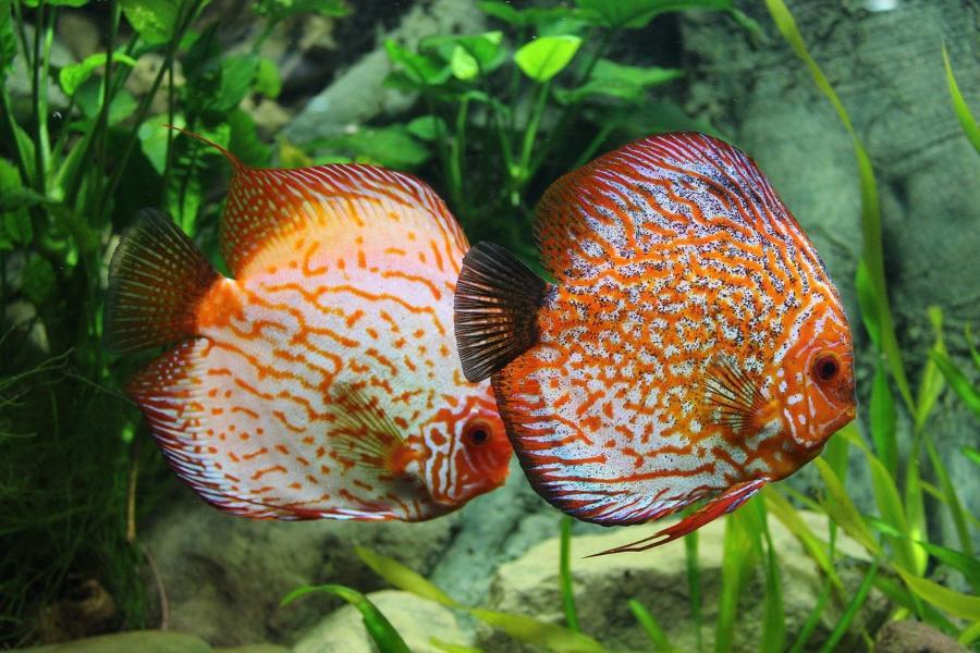 Peces de acuario de agua dulce, marinos y tropicales