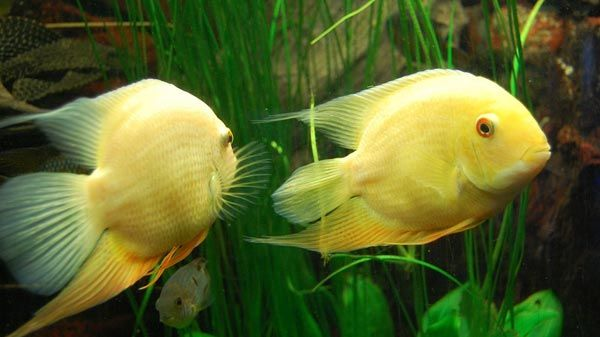 Peces de acuario de agua dulce marinos y tropicales for Variedad de peces
