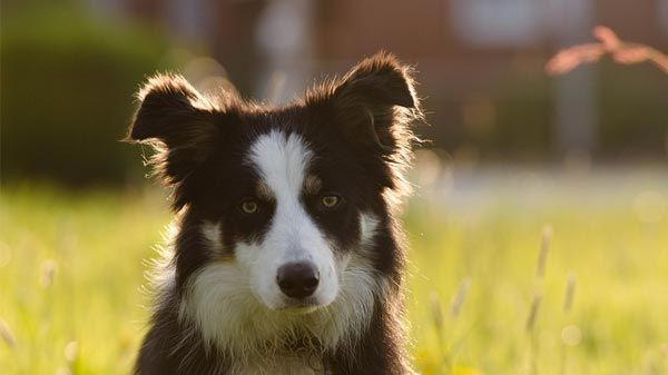 Las 10 razas de perro más inteligentes