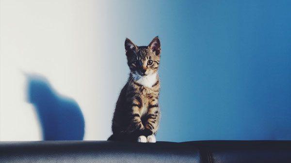 El gato más pequeño del mundo y otros récords de los gatos