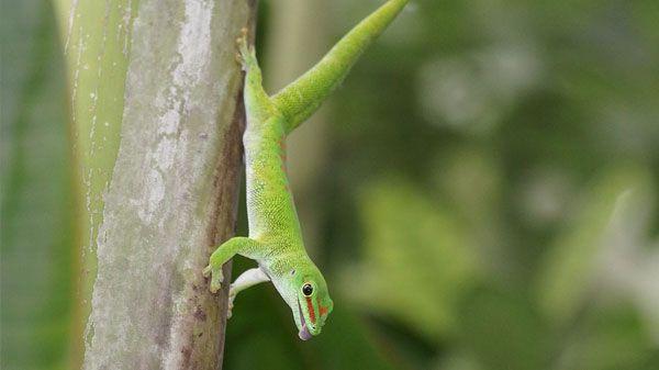 Tipos de geckos y principales características