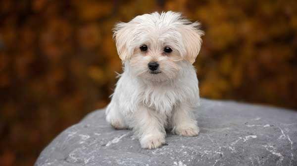 Razas De Perros Tranquilos Todo Lo Que Debes Saber Tiendanimal